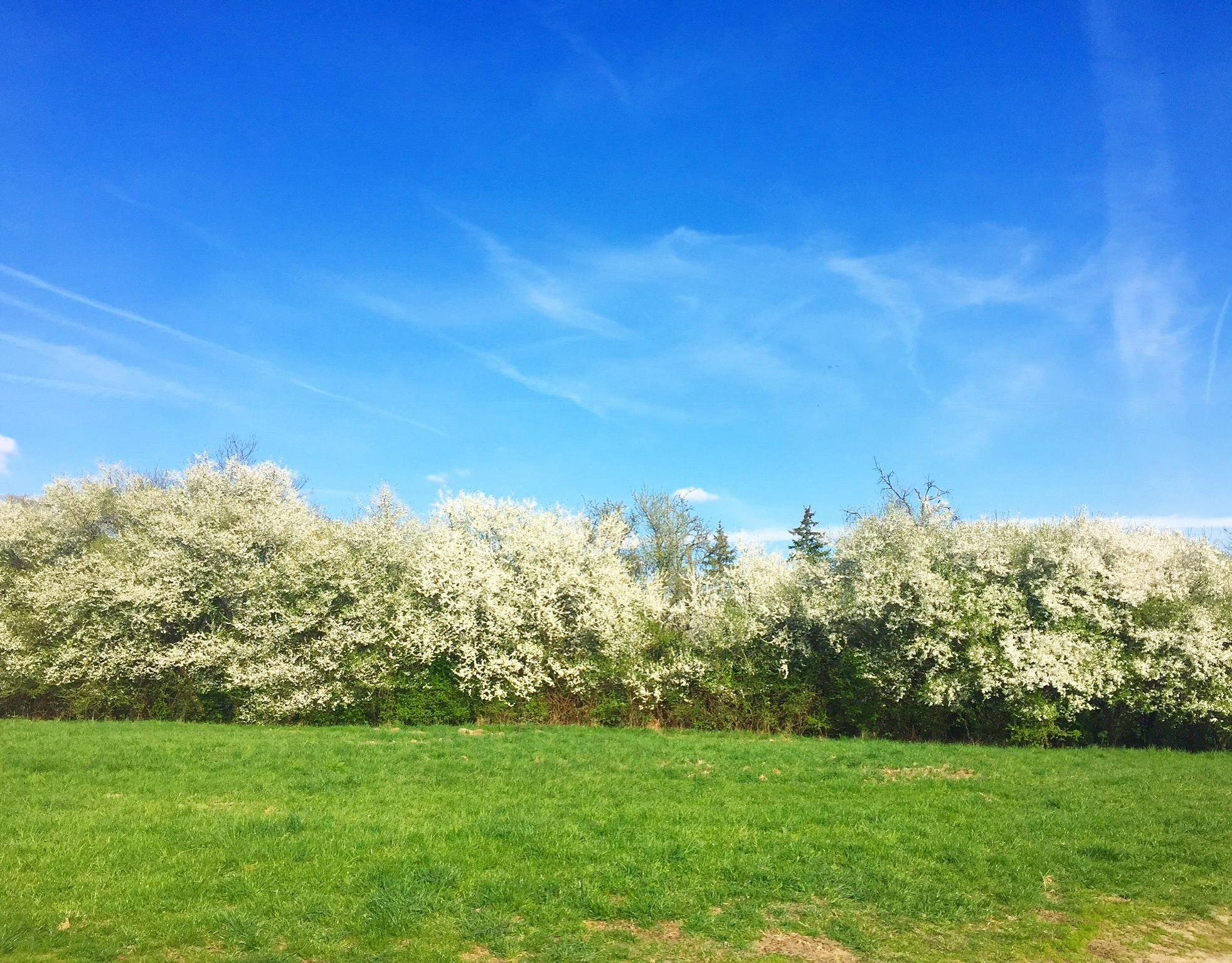 Blossom trees in Germany
